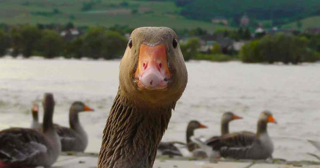 A close-up of a goose's neck and head staring at the camera.